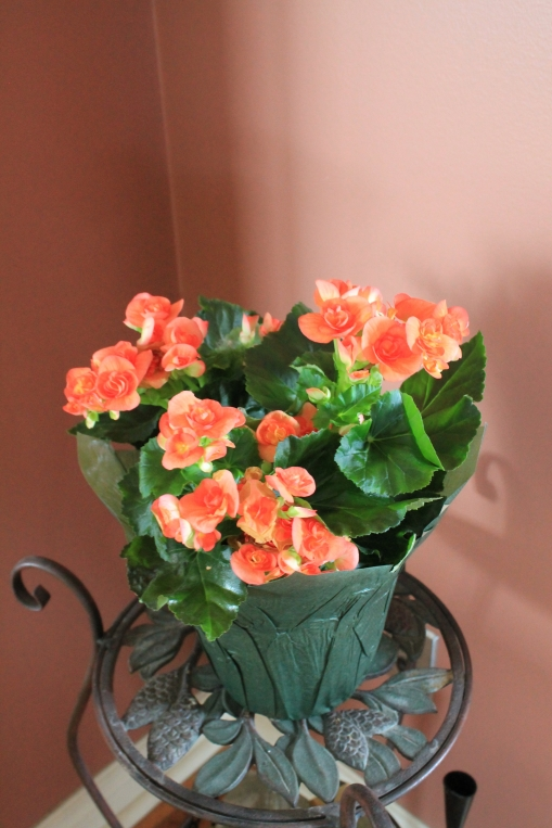 Begonias Willyfresh Plants
